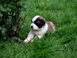 Собаки, щенки Сенбернар, цена 3500 Грн., Фото