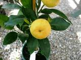 Домашні рослини Цитрусові рослини, ціна 150 Грн., Фото
