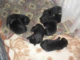 Собаки, щенки Ньюфаундленд, цена 2000 Грн., Фото