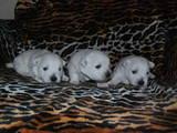 Собаки, щенята Вестхайленд уайт тер'єр, ціна 10000 Грн., Фото