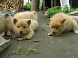 Собаки, щенята Східно-сибірська лайка, ціна 1000 Грн., Фото
