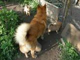 Собаки, щенки Восточно-Сибирская лайка, цена 1000 Грн., Фото