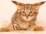 Кошки, котята Абиссинская, цена 35000 Грн., Фото