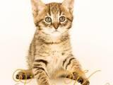 Кішки, кошенята Абіссінська, ціна 40000 Грн., Фото