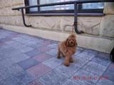 Собаки, щенята Той-пудель, ціна 500 Грн., Фото