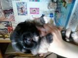 Собаки, щенки Пекинес, цена 350 Грн., Фото