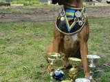 Собаки, щенята Боксер, ціна 3000 Грн., Фото