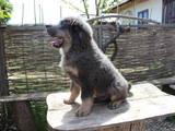 Собаки, щенята Невідома порода, ціна 24000 Грн., Фото