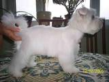 Собаки, щенята Вестхайленд уайт тер'єр, ціна 350 Грн., Фото