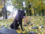 Собаки, щенки Кане Корсо, Фото