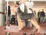 Собаки, щенки Вельштерьер, цена 8000 Грн., Фото