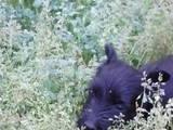 Собаки, щенки Скотчтерьер, цена 1500 Грн., Фото