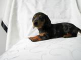 Собаки, щенята Гладкошерста кроляча такса, ціна 2500 Грн., Фото
