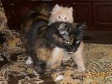 Кішки, кошенята Курильський бобтейл, ціна 1200 Грн., Фото