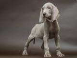 Собаки, щенята Веймарська лягава, ціна 5500 Грн., Фото