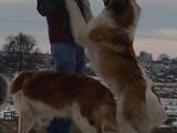 Собаки, щенки Московская сторожевая, цена 200 Грн., Фото