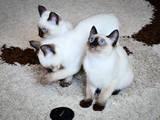 Кішки, кошенята Тайська, ціна 1500 Грн., Фото