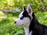 Собаки, щенята Американський бульдог, ціна 150 Грн., Фото