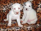 Собаки, щенки Далматин, цена 800 Грн., Фото