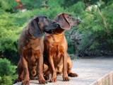 Собаки, щенята Баварський гончак, ціна 15000 Грн., Фото