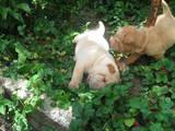 Собаки, щенята Шарпей, ціна 800 Грн., Фото