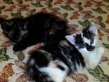 Кішки, кошенята Турецька Ангора, ціна 10 Грн., Фото