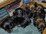 Собаки, щенки Длинношерстная такса, цена 2000 Грн., Фото