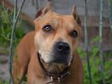 Собаки, щенята Бультер'єр, ціна 2000 Грн., Фото