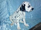 Собаки, щенята Далматин, ціна 2500 Грн., Фото