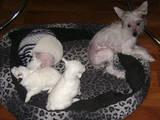 Собаки, щенки Китайская хохлатая собака, цена 500 Грн., Фото