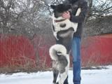 Собаки, щенята Акіта-іну, ціна 8000 Грн., Фото
