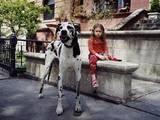 Собаки, щенята Німецький дог, Фото