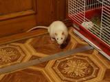 Грызуны Домашние крысы, цена 20 Грн., Фото