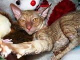 Кішки, кошенята Корніш-рекс, ціна 500 Грн., Фото