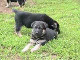 Собаки, щенята Східно-Європейська вівчарка, ціна 1500 Грн., Фото