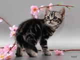 Кошки, котята Американская короткошерстная, цена 8000 Грн., Фото