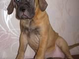 Собаки, щенки Бульмастиф, цена 5500 Грн., Фото