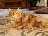 Кошки, котята Спаривание, цена 4900 Грн., Фото