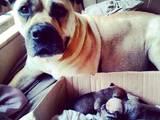 Собаки, щенята Мальоркскій бульдог (Ка Де Бо), ціна 8000 Грн., Фото