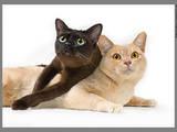 Кошки, котята Бурма, цена 4500 Грн., Фото