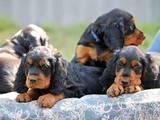 Собаки, щенята Сетер-гордон, ціна 6000 Грн., Фото