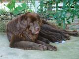 Собаки, щенки Ньюфаундленд, цена 6400 Грн., Фото