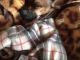 Собаки, щенята Пінчер, ціна 499 Грн., Фото