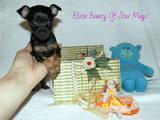 Собаки, щенки Русский гладкошерстный тойтерьер, цена 6000 Грн., Фото