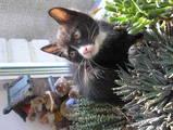 Кішки, кошенята Карельський бобтейл, ціна 1000 Грн., Фото