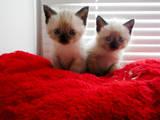 Кішки, кошенята Тайська, ціна 100 Грн., Фото