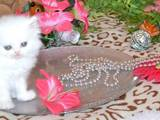Кошки, котята Персидская, цена 250 Грн., Фото