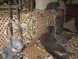 Кошки, котята Британская длинношёрстная, цена 450 Грн., Фото