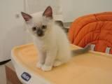 Кішки, кошенята Регдолл, ціна 600 Грн., Фото