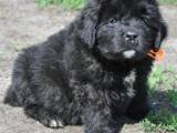 Собаки, щенята Ньюфаундленд, ціна 6000 Грн., Фото